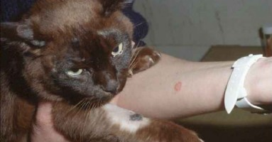 Dermatomikoza mačaka - gljivično oboljenje koje se prenosi na ljude