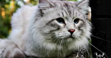 Sibirska mačka - tradicionalna i Neva Masquerade