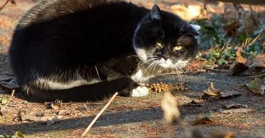 Zahvaljujući evoluciji skoro je nemoguće grupisati mačke