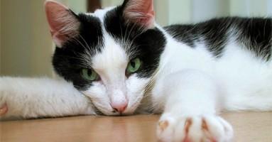 Kokcidioza mačaka