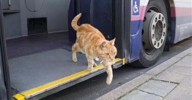 Žuti mačak koji voli autobuse :)