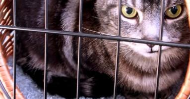 FIP kod mačaka - infektivni peronitis