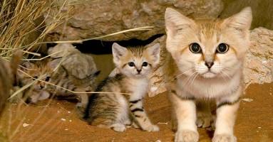 Peščane mačke - dragulj Arabije
