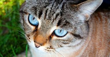 Progresivna atrofija retine kod mačaka