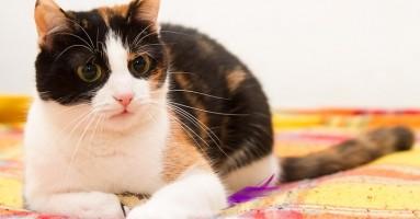 Zašto je aspirin otrovan za mačke?